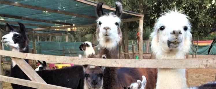 jeu-concours-var-lamas-visite-famille